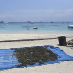 Seaweed laying out to dry